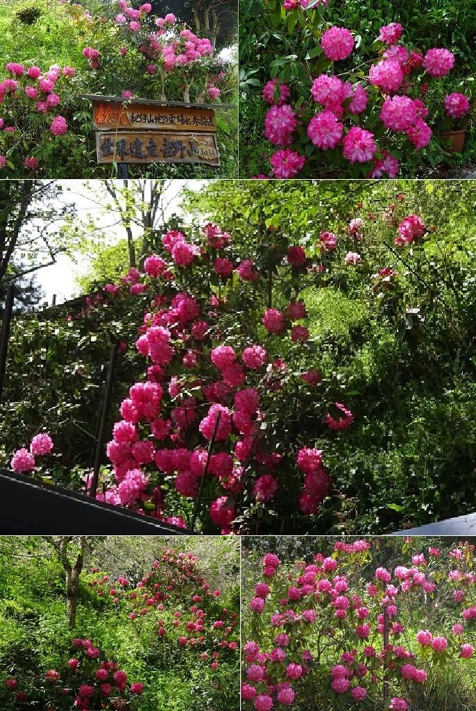 吉野山の石楠花ハイドンハンター