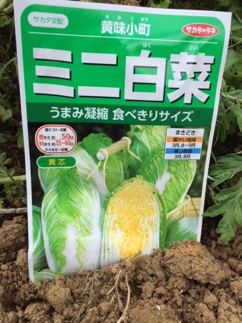 0415ミニ白菜2