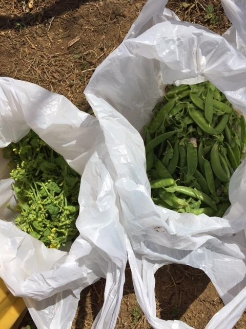0424収穫