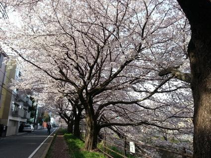黒目川桜2