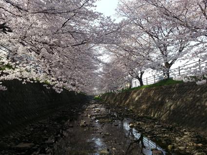 黒目川桜1