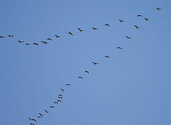 鳥のV 字編隊飛行