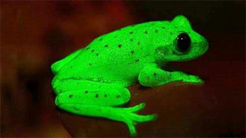 蛍光色で光るカエル