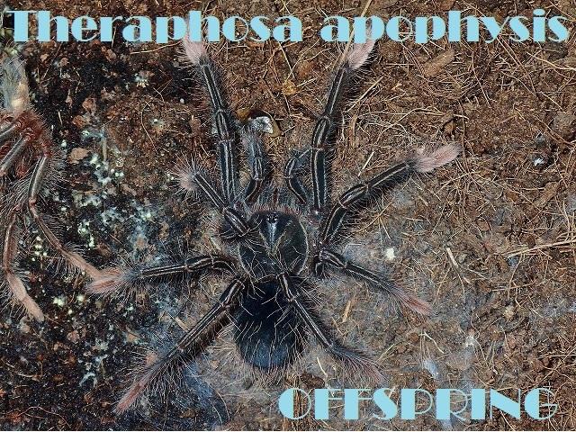 Theraphosa apophysis30265