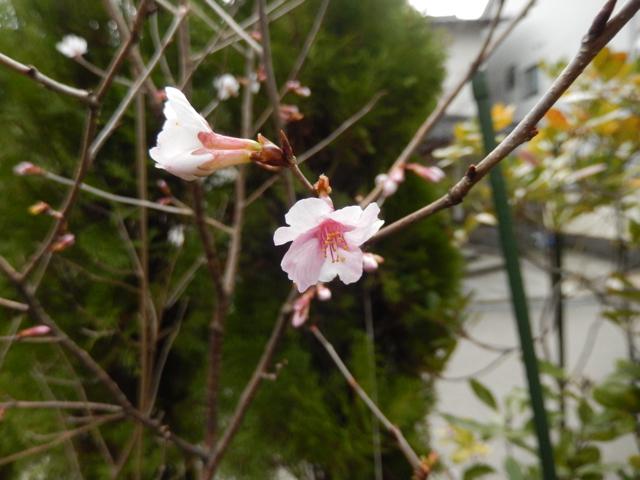 2016-3-10桜