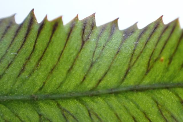 イノモトソウの葉4