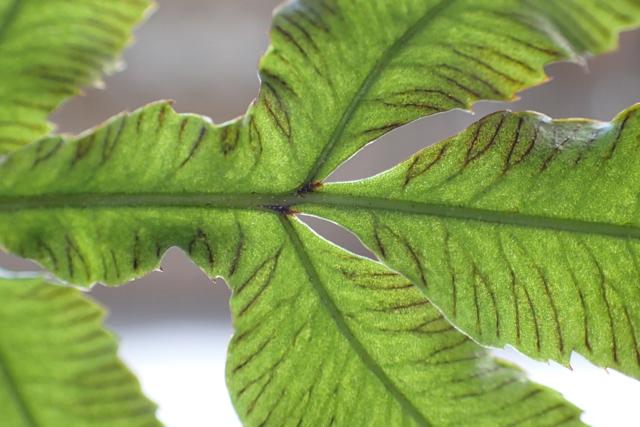 イノモトソウの葉3