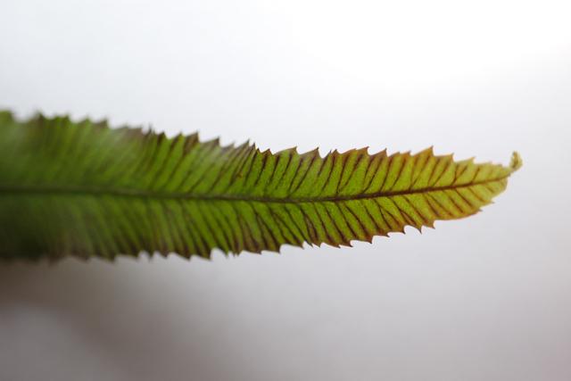 イノモトソウの葉5