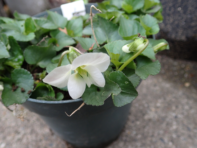 スミレの仲間白花