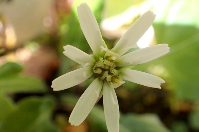 センボンヤリ 花