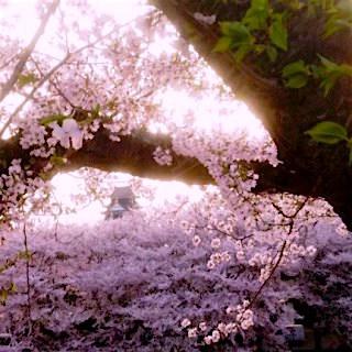 岡山城02 桜 後楽園 夕暮れDSC_0426 岡山 さくらんカーニバル