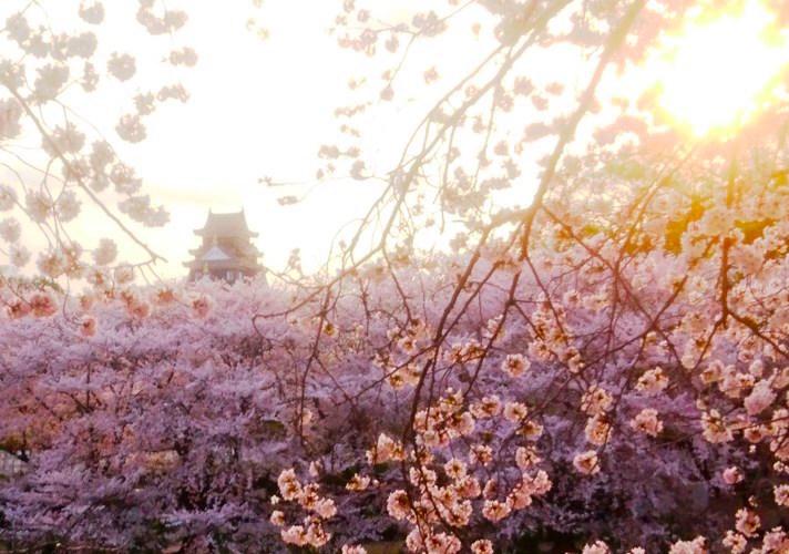 岡山城 さくら in夕日DSC_0414 のコピー