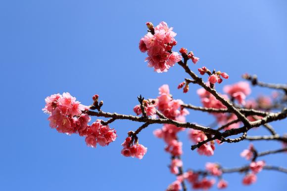 今帰仁城跡の桜まつり
