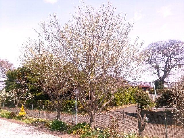29-冬桜1