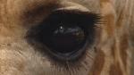 キリンの目