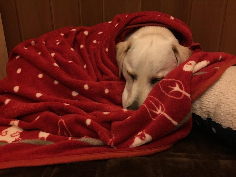 赤い毛布にくるまって寝てるライリー