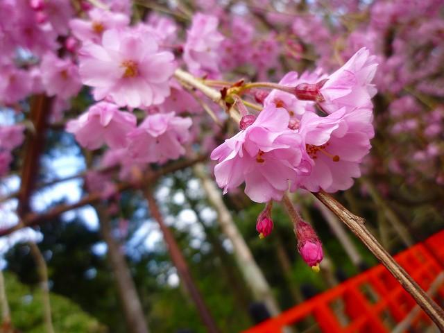 17,4,12 上賀茂神社 (7)