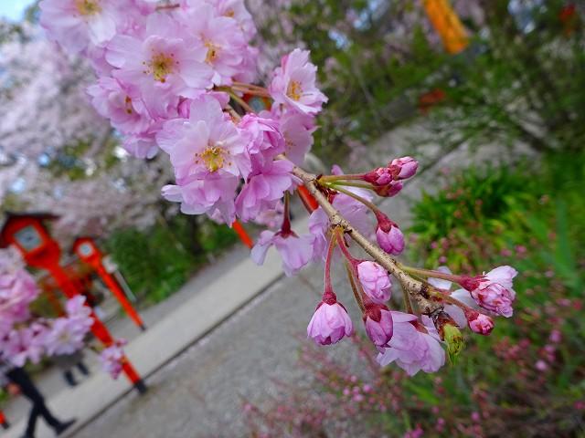 17,4,13 平野神社 (3)