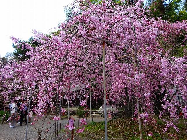 17,4,13 平野神社 (4)