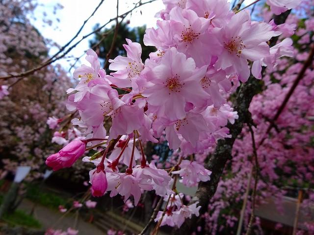 17,4,13 平野神社 (5)