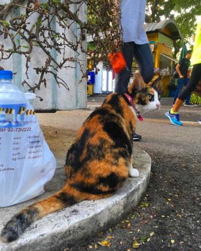 タイのヲソト猫177★陸上部監督猫