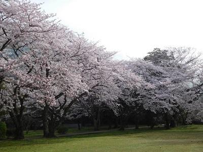 出雲大社桜