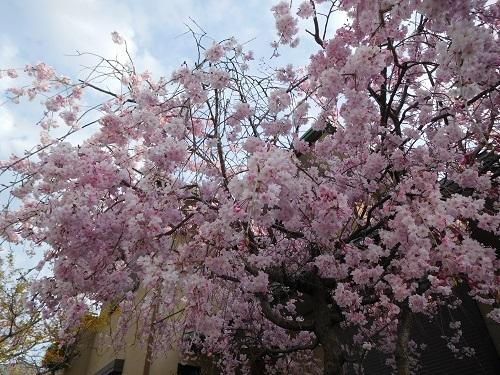 しだれ桜6