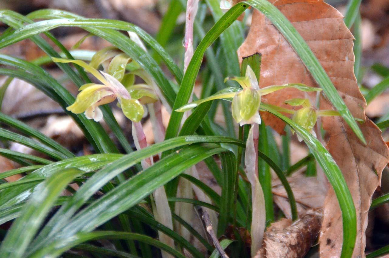 09)透き通るようなシュンランの花