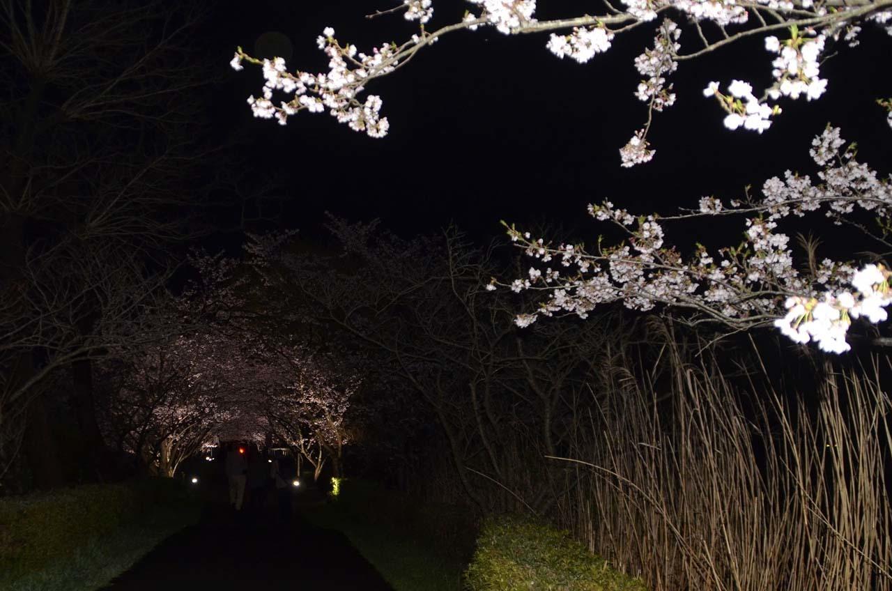 _D708350手賀沼の桜