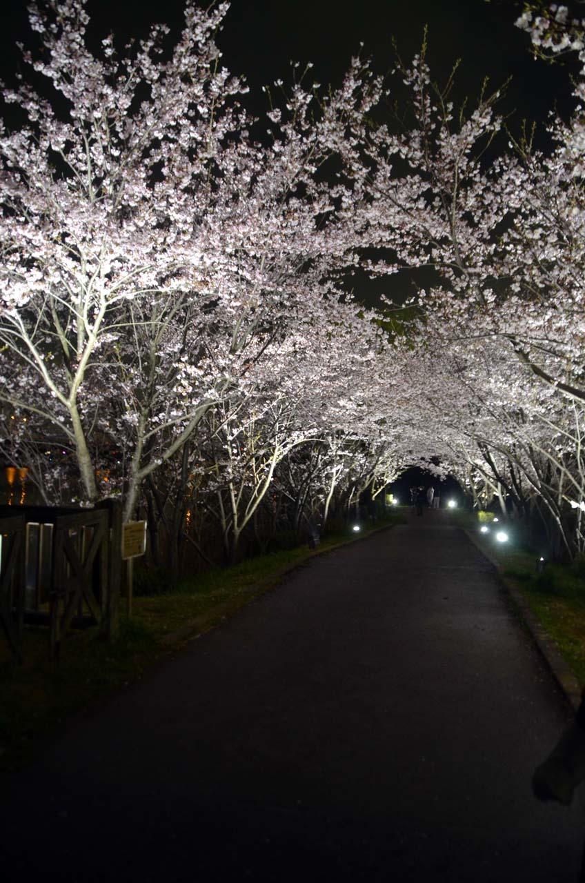 _D708332手賀沼の桜
