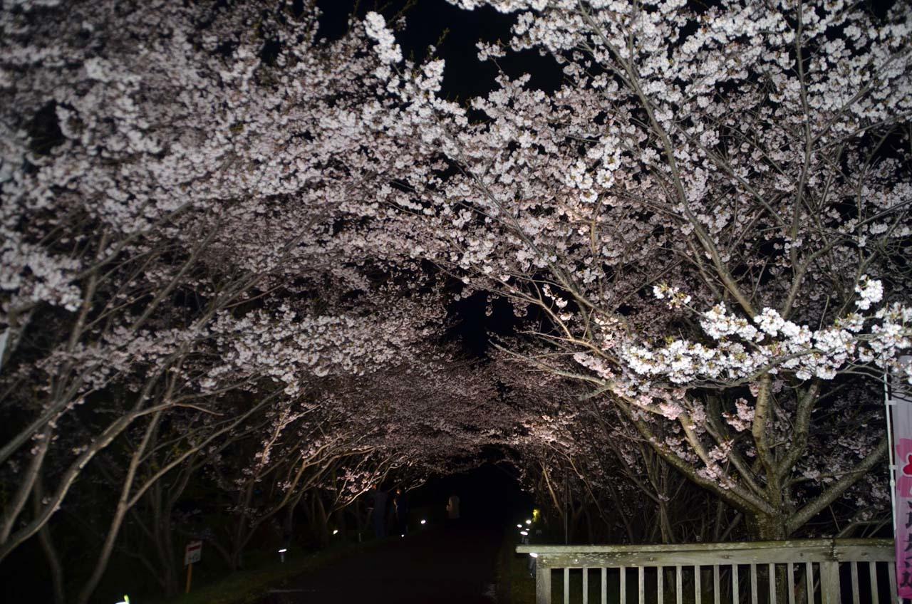 _D708308手賀沼の桜
