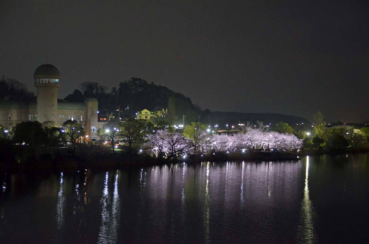 _D708354手賀沼の桜