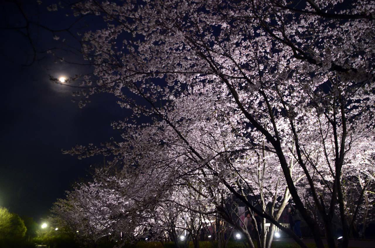 _D708300手賀沼の桜