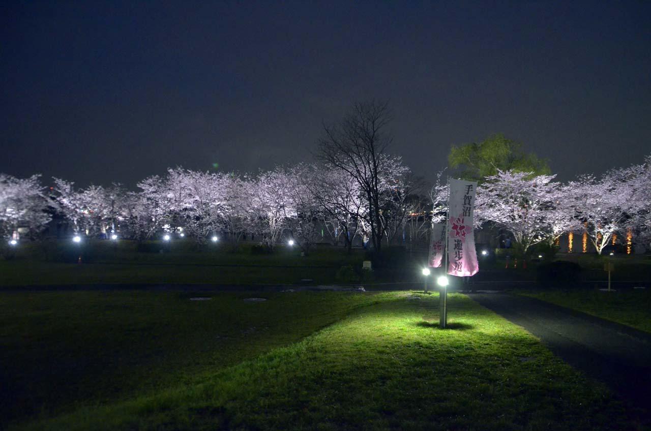 _D708292手賀沼の桜