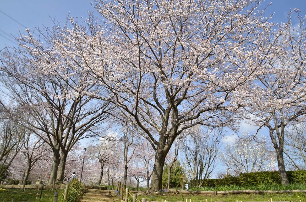 _D708037北柏ふるさと公園の桜