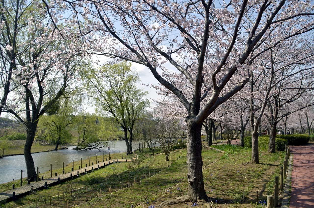_D708040北柏ふるさと公園の桜