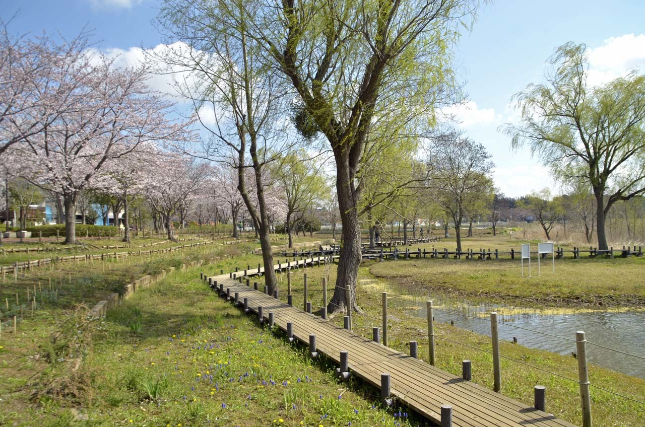 _D708036北柏ふるさと公園の桜