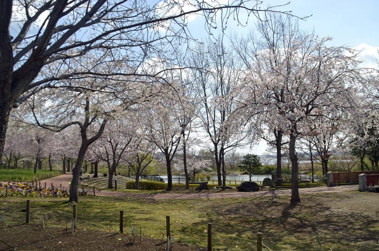 _D708030北柏ふるさと公園の桜