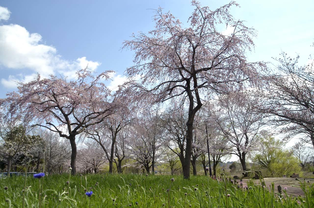 _D708033北柏ふるさと公園の桜