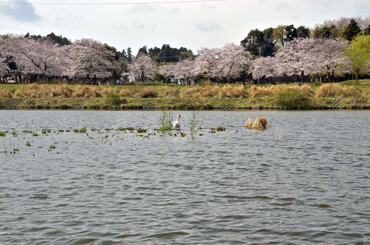 _D708027北柏ふるさと公園の桜
