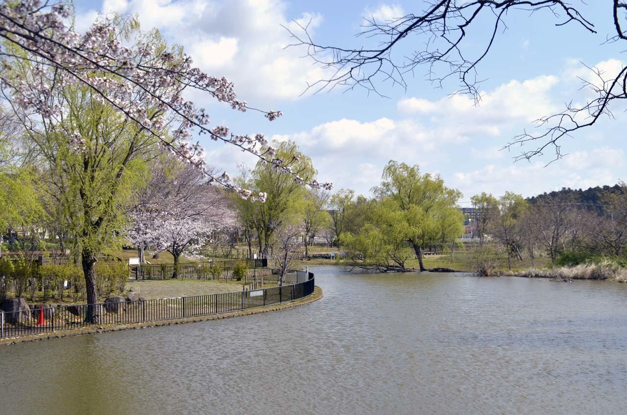 _D708016北柏ふるさと公園の桜