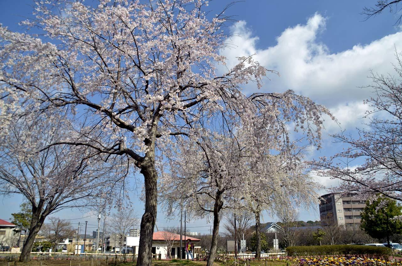 _D708007北柏ふるさと公園の桜