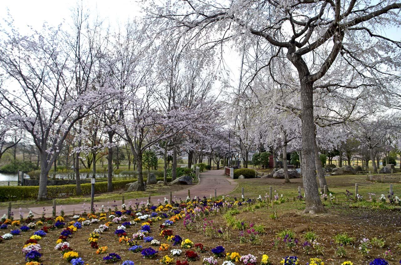 _D708006北柏ふるさと公園の桜