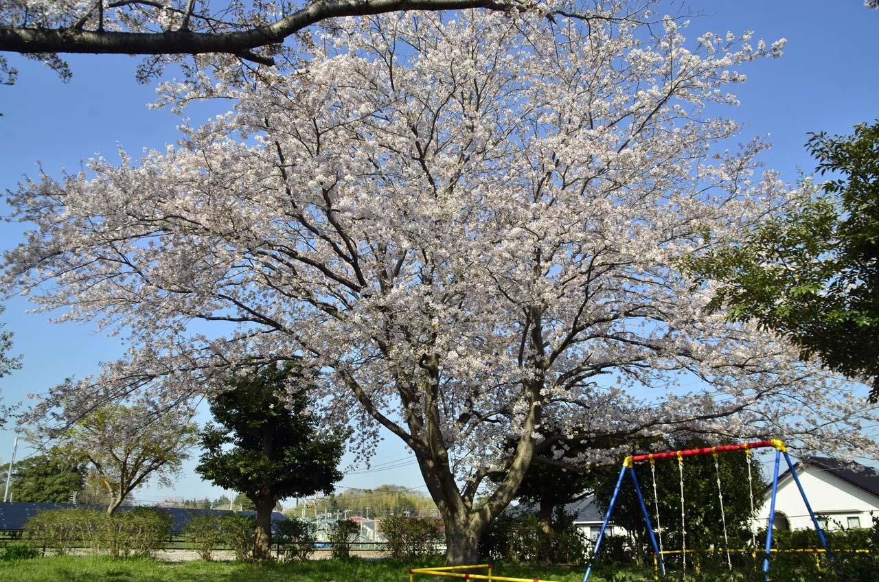 _D708640布佐の桜
