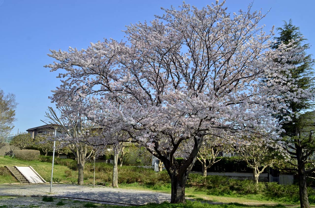 _D708592布佐の桜