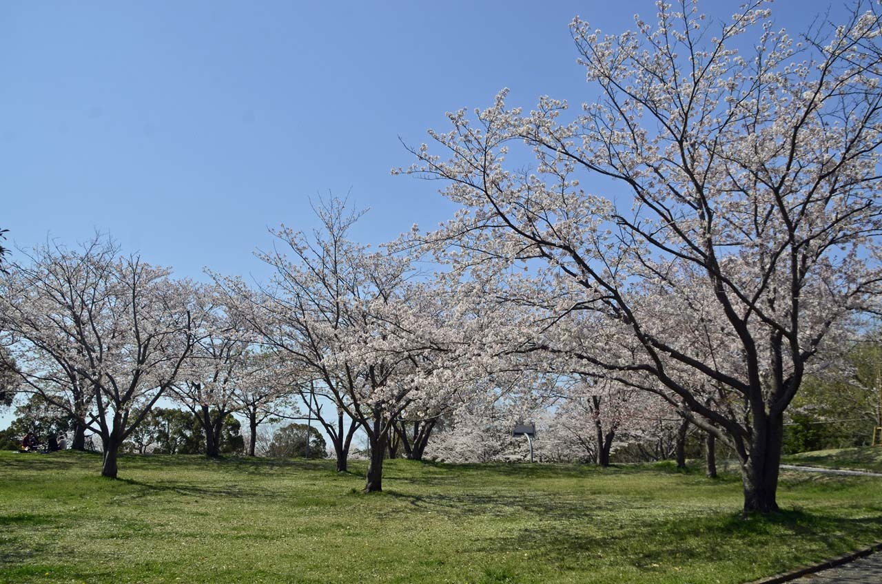 _D708596布佐の桜