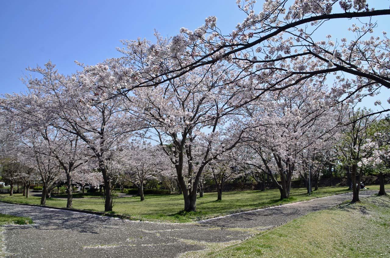 _D708595布佐の桜
