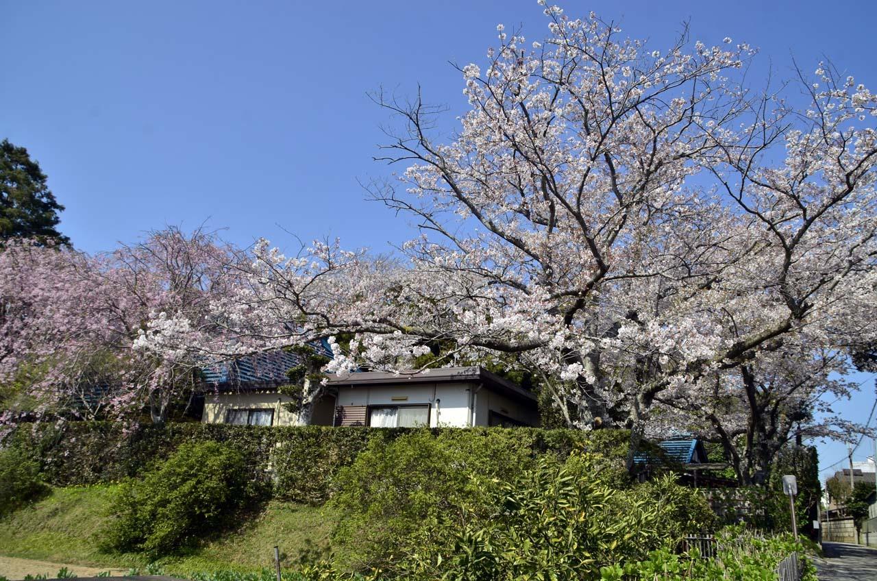_D708602布佐の桜