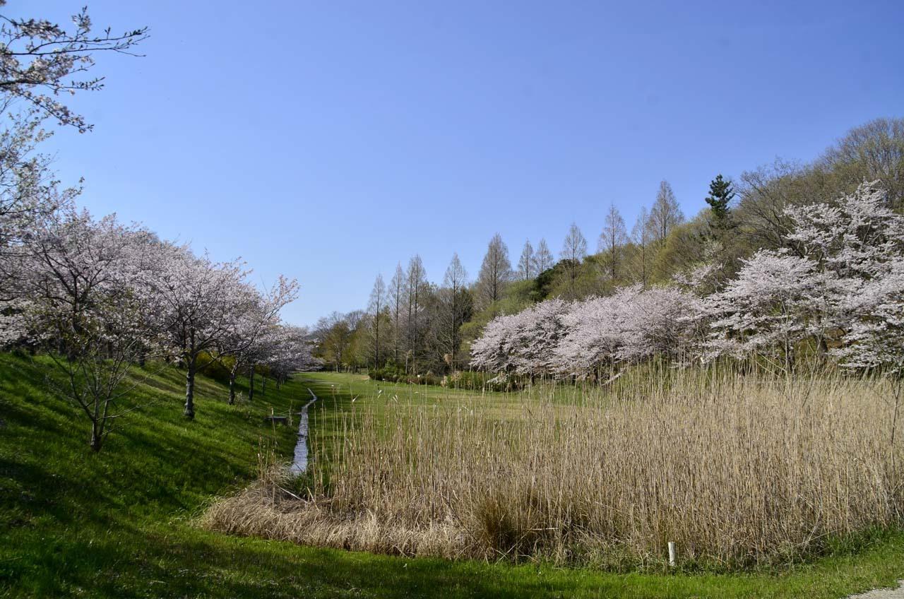 _D708629布佐の桜
