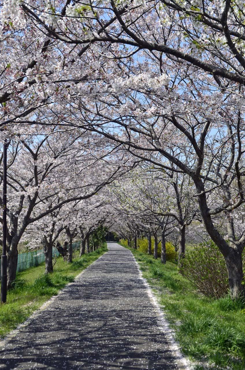 _D708606布佐の桜